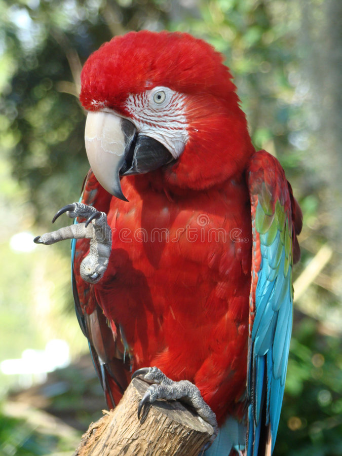 Beautiful Red Macaw stock photo