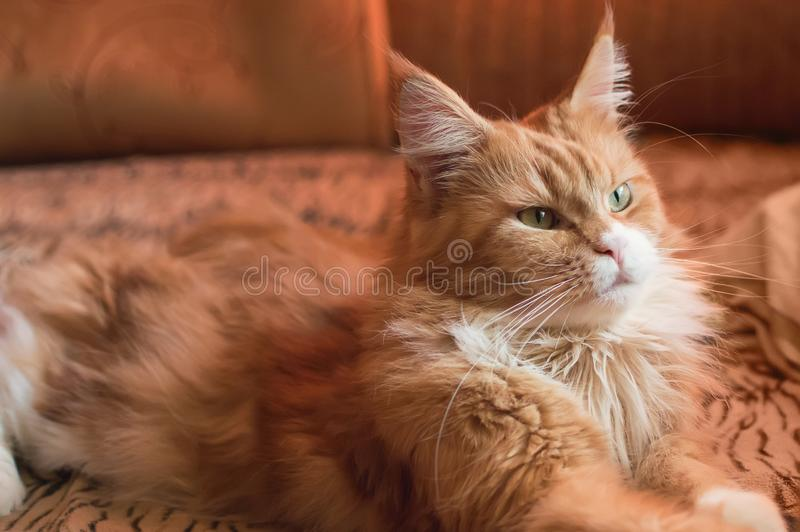 A beautiful Maine Coon cat lies on the sofa at home. stock photo