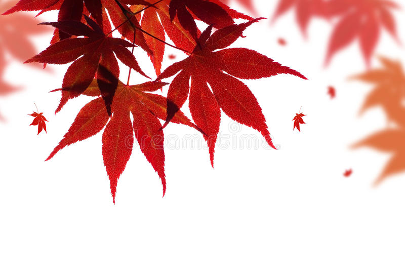 Beautiful red maple branch. On white with falling leaves royalty free stock photos