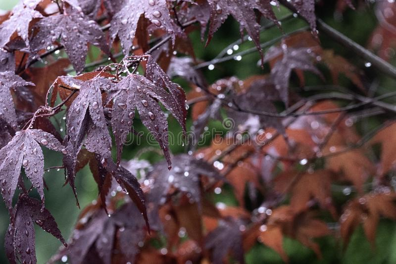 Beautiful red maple leaves in autumn rain. Close up of rain drops on red leaf stock images