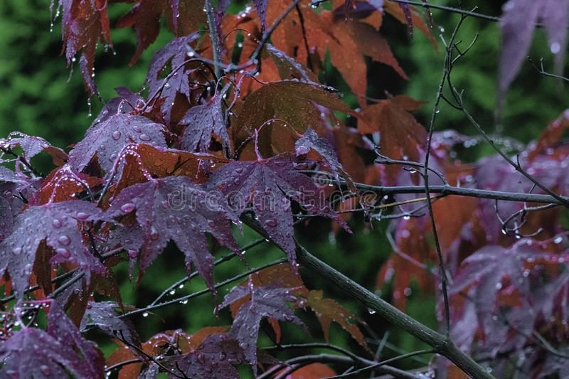 Beautiful red maple leaves in autumn rain. Close up of rain drops on red leaf stock image
