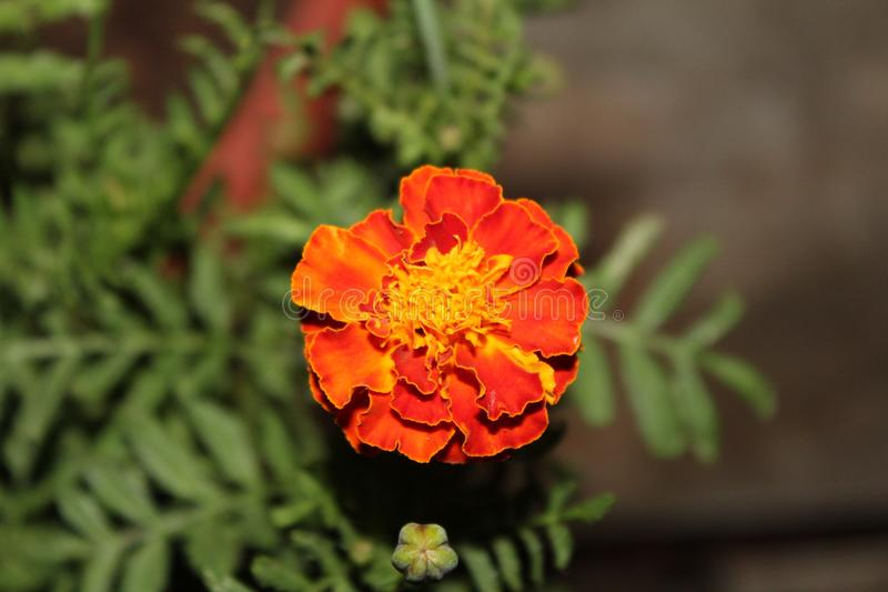 Beautiful red Marigold flower stock photos