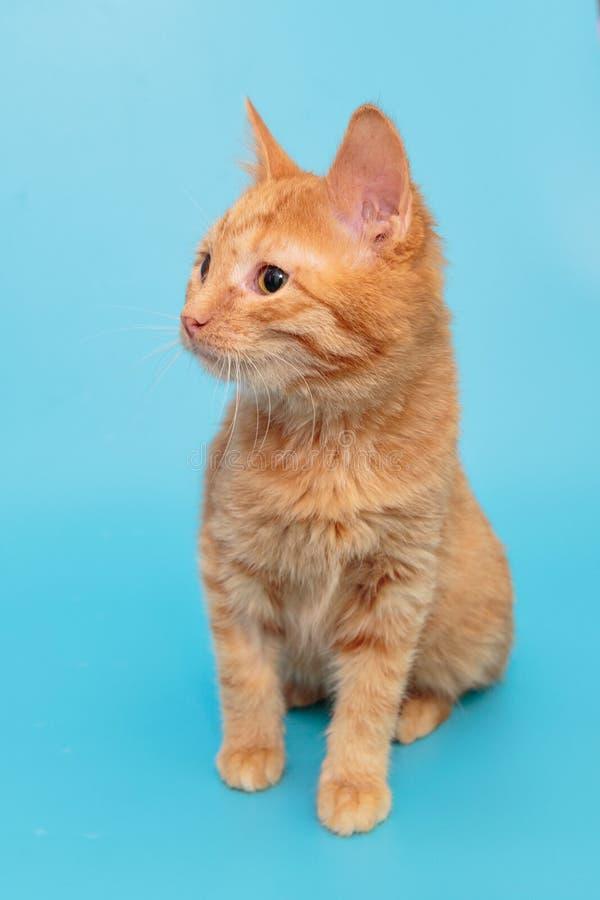 Beautiful red mongrel kitten stock photos