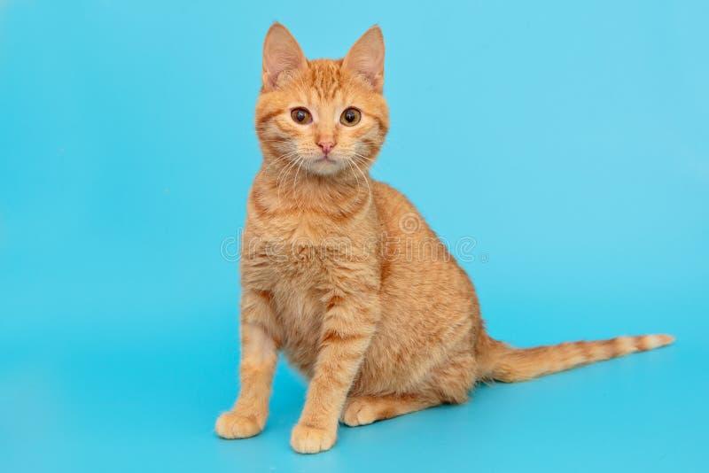 Beautiful red mongrel kitten stock images