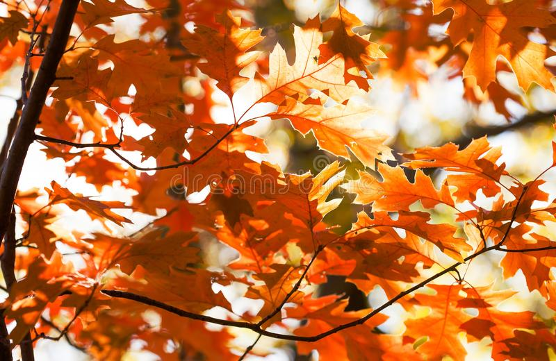 Beautiful Red oak leaves background. Autumn foliage colorful orange brown leaves, sunny day forest scene. Selective. Focus royalty free stock photos