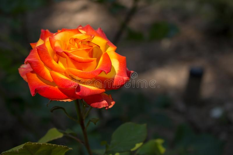 Beautiful red and orange rose flower in garden. Blooming rose on unfocused background. Floral love and romance symbol. stock photos