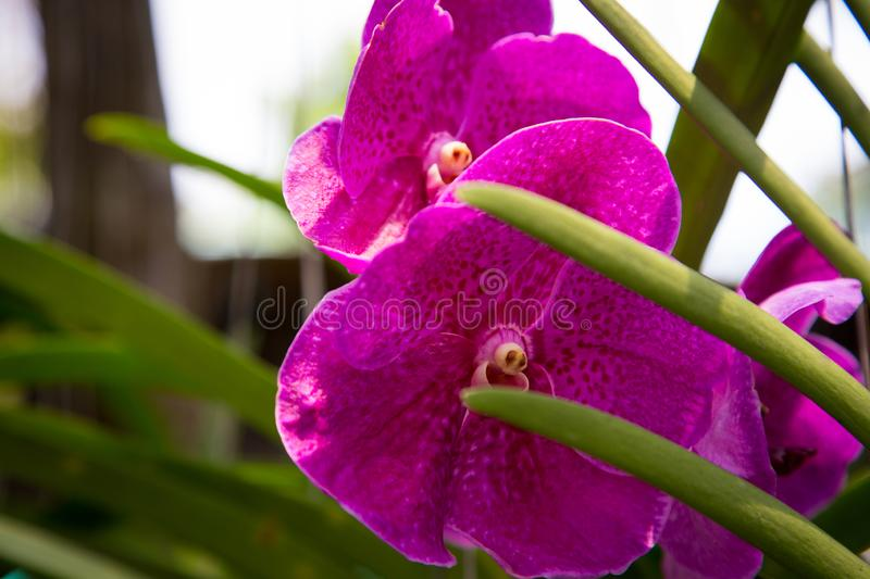 Beautiful red orchid flower growing in the garden on a background of other flowers. For use in a postcard, advertising. Thailand. Natural spring background stock photos
