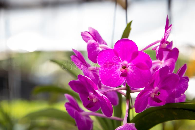 Beautiful red orchid flower growing in the garden on a background of other flowers. For use in a postcard, advertising. Thailand. Natural spring background stock images