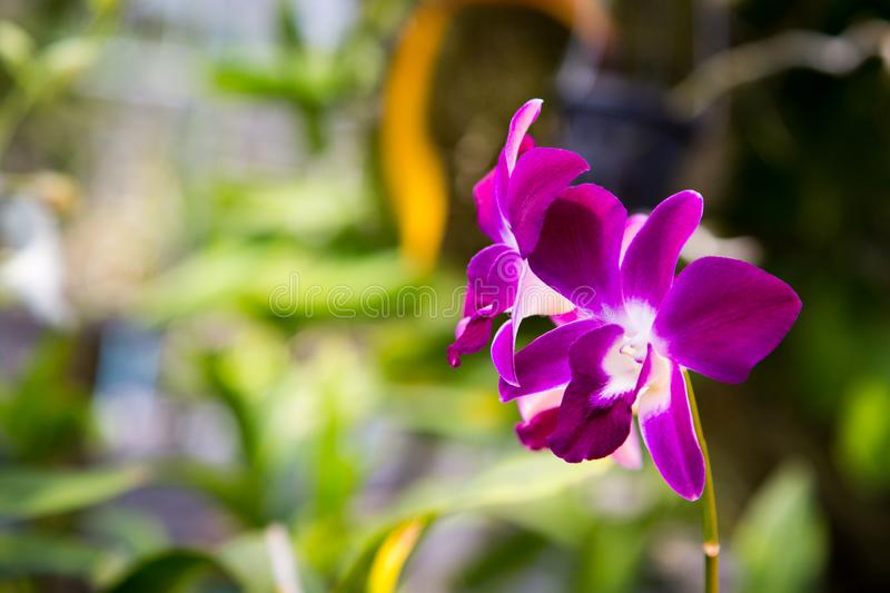 Beautiful red orchid flower growing in the garden on a background of other flowers. For use in a postcard, advertising. Thailand. Natural spring background royalty free stock image