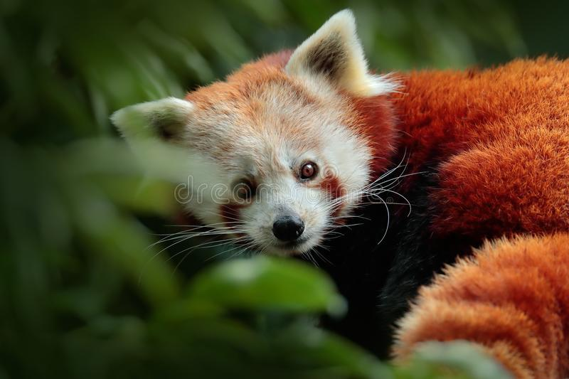Beautiful Red panda lying on the tree with green leaves. Red panda, Ailurus fulgens, in habitat. Detail face portrait of animal fr stock image
