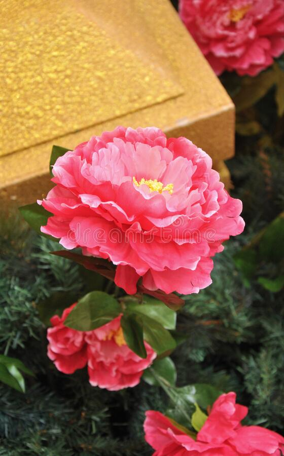Beautiful red Peony flower in stunning bloom royalty free stock photos