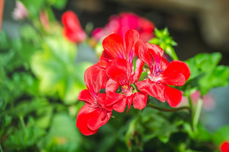 Beautiful red or pink Geranium pelargonium flowers in the garden with soft light and green plants as background, close up royalty free stock photo