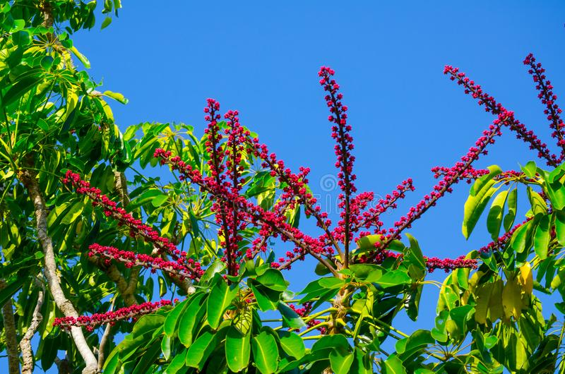 Beautiful red-pink Schefflera Actinophylla Umbrella Tree flower in a summer at a botanical garden. royalty free stock image