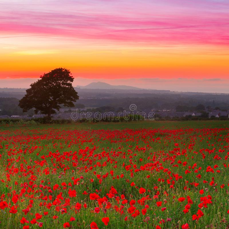 Beautiful red poppies field landscape with colorful sunset sky royalty free stock image