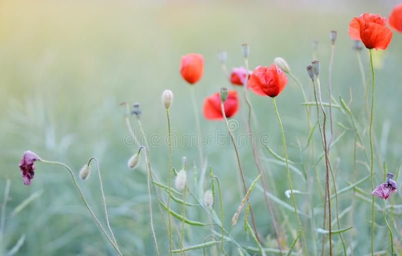 Beautiful Red Poppies Flowers Field Blooming Sunset Latvia stock image
