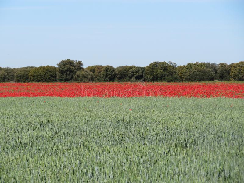 Beautiful red poppies full of flowers mixed with cereal stock images