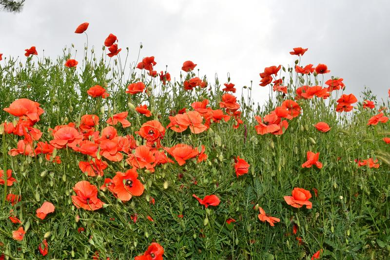 Sky, clouds and poppies stock image