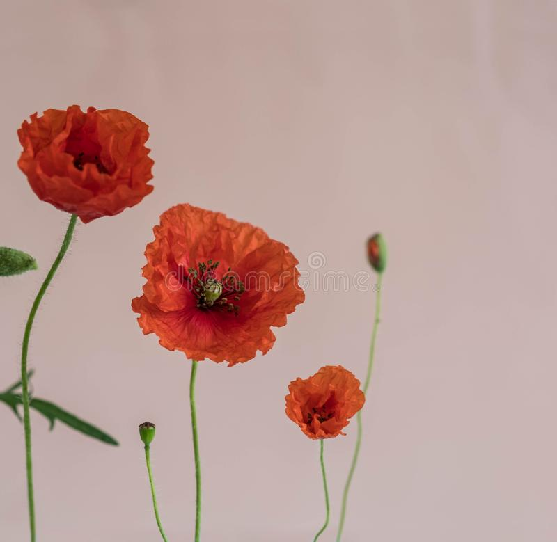Beautiful red poppies with buds and leaves on pink background stock photo