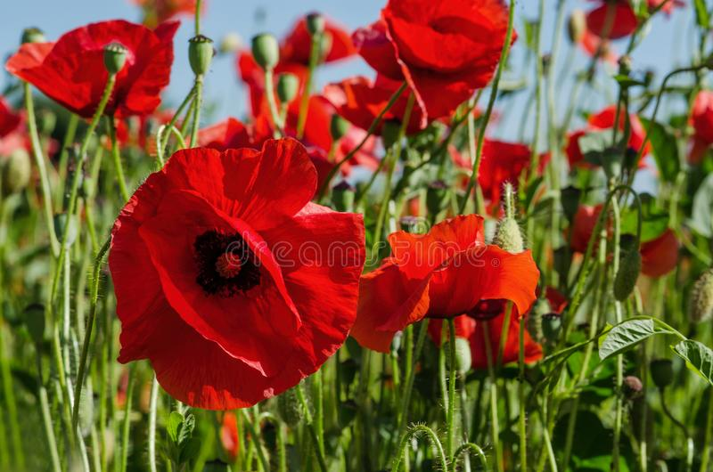 Beautiful red poppies in summer Ñ‹unny weather royalty free stock images