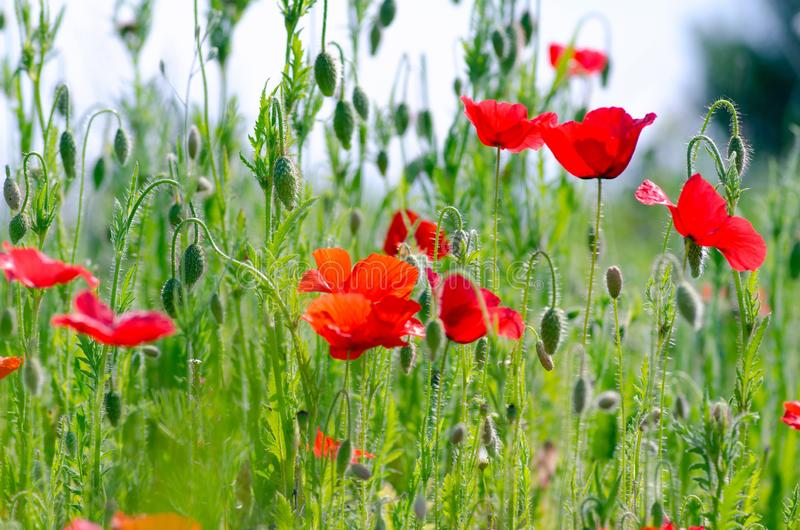 Beautiful red poppies on a summer meadow, buds of poppies, a symbol of victory stock images