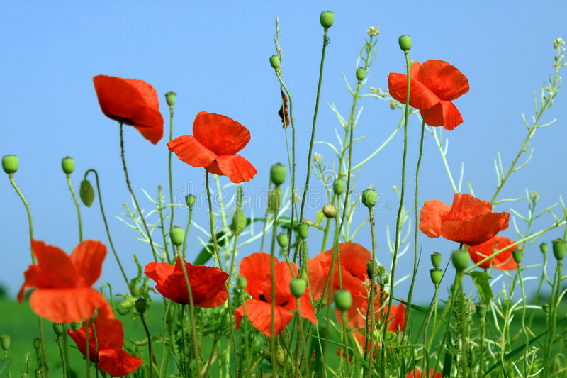Download Beautiful Red Poppies Under A Blue Sky Stock Photo - Image: 893990