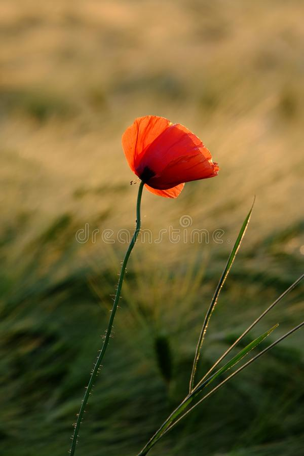Beautiful red poppy on the background of a field with herbs in the rays of the evening sun stock photos