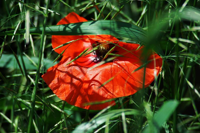 Beautiful red poppy in the meadow royalty free stock photos