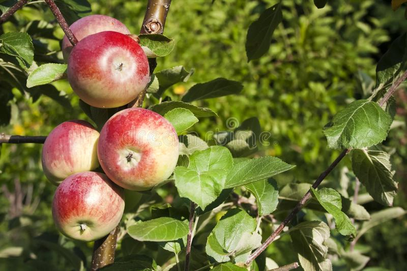 Beautiful red ripe apples on an apple tree in green summer garden. Closeup of beautiful red ripe apples on an apple tree in green summer garden stock photo