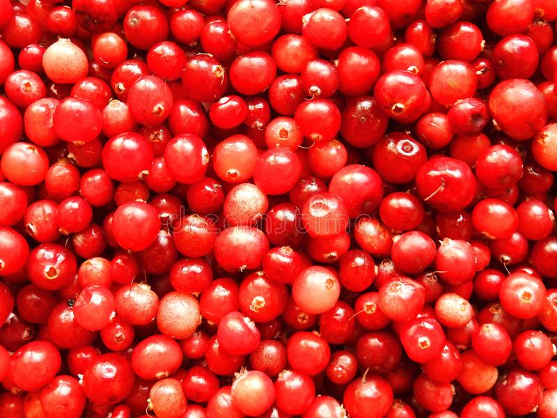 Red ripe cranberry in autumn, Lithuania stock image