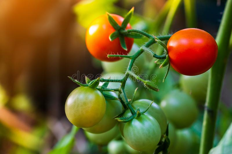 Beautiful red ripe heirloom tomatoes grown in a greenhouse royalty free stock photos