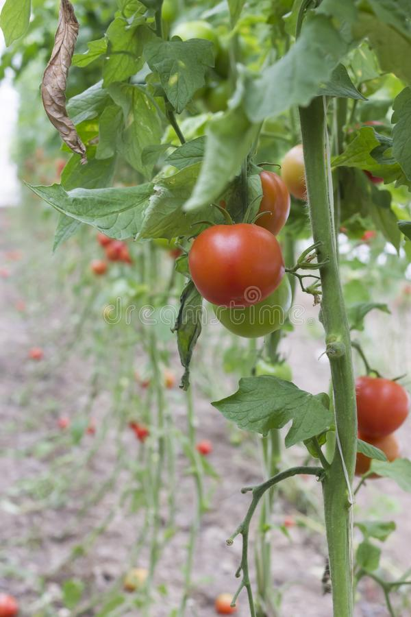 Beautiful red ripe heirloom tomatoes grown in a greenhouse. Gardening tomato photograph with copy space. Shallow depth of field royalty free stock images