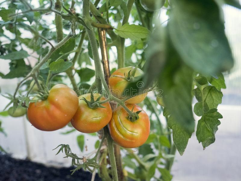 Beautiful red ripe heirloom tomatoes grown in a greenhouse. Gardening tomato photograph with copy space. Shallow depth stock images