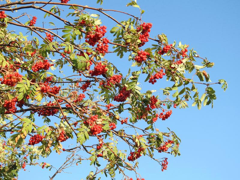 Red ripe rowan berries on tree branch, Lithuania royalty free stock images