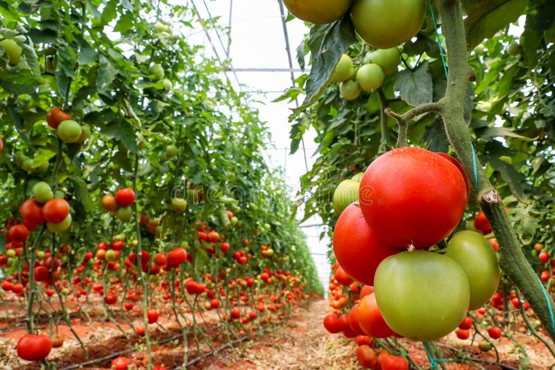 Beautiful red ripe tomatoes grown in a greenhouse.  royalty free stock photo