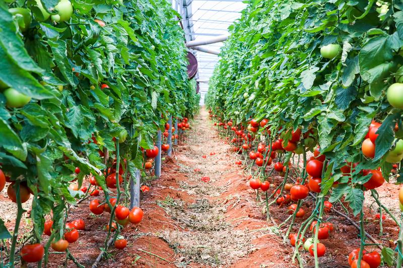 Beautiful red ripe tomatoes grown in a greenhouse.  royalty free stock photos