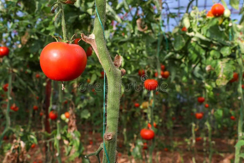 Beautiful red ripe tomatoes grown in a greenhouse.  stock image