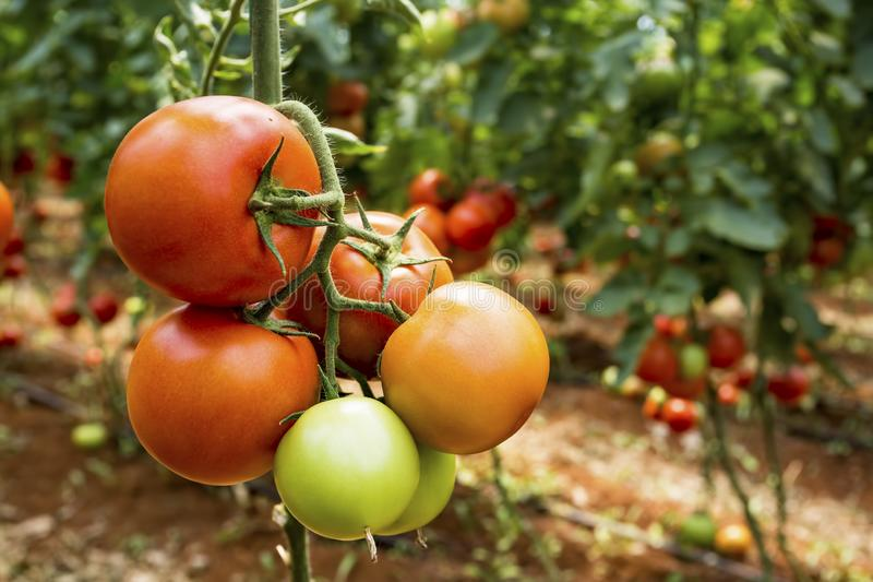 Beautiful red ripe tomatoes grown in a greenhouse.  stock photography