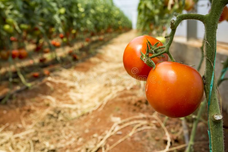 Beautiful red ripe tomatoes grown in a greenhouse.  stock photo