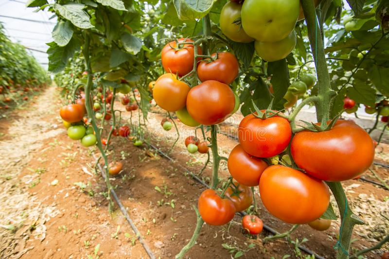 Beautiful red ripe tomatoes grown in a greenhouse.  royalty free stock photography