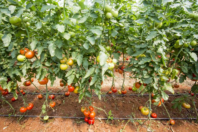 Beautiful red ripe tomatoes grown in a greenhouse.  stock photos