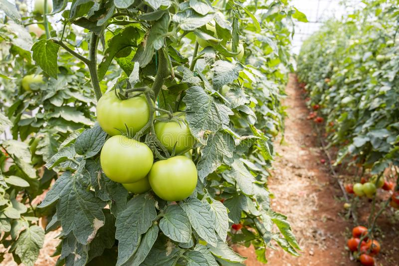 Beautiful red ripe tomatoes grown in a greenhouse.  royalty free stock image