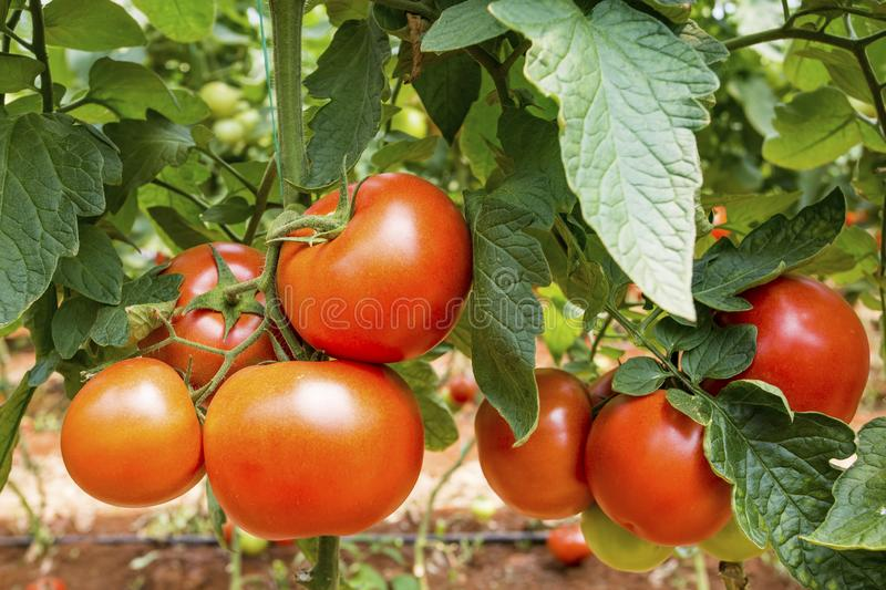 Beautiful red ripe tomatoes grown in a greenhouse.  stock images