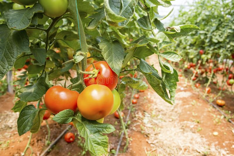 Beautiful red ripe tomatoes grown in a greenhouse.  royalty free stock images