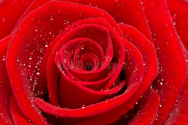Download Beautiful red rose stock photo. Image of elegant, macro - 20082448