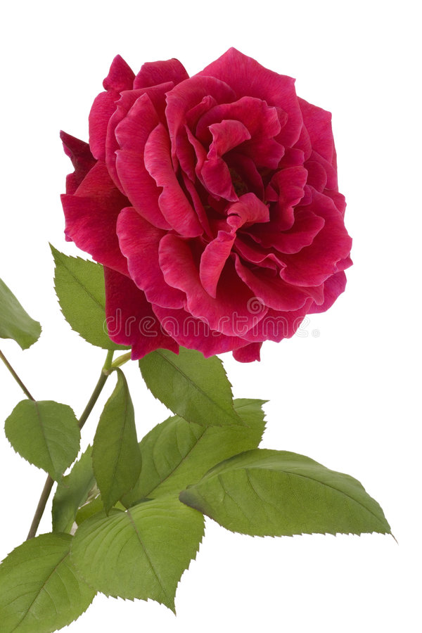 Free Beautiful Red Rose Stock Photography - 5275722