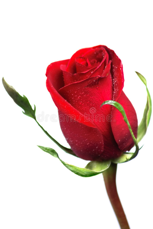Free Beautiful Red Rose Stock Photo - 8353600