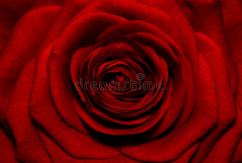 Beautiful Red Rose Background Stock Image