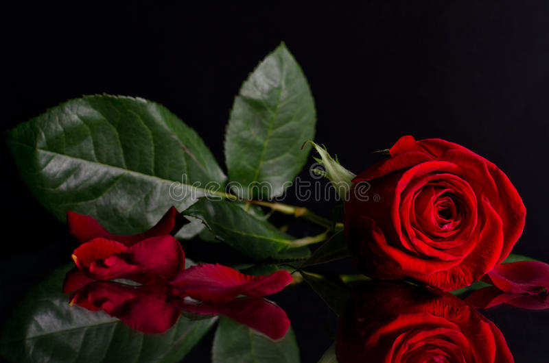 Beautiful Red Rose On Black Background Stock Image