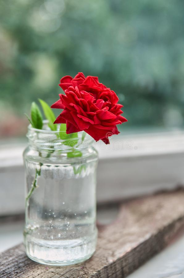 Beautiful red rose bloom in the glass jar on blurred nature background close up with copy space. Side view royalty free stock photography