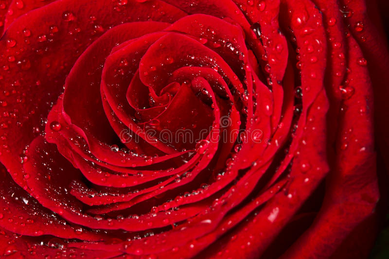 Beautiful Red Rose close up stock images